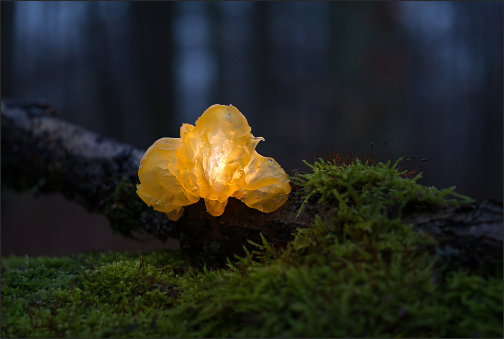 Goldgelber Zitterling (Tremella mesenterica)