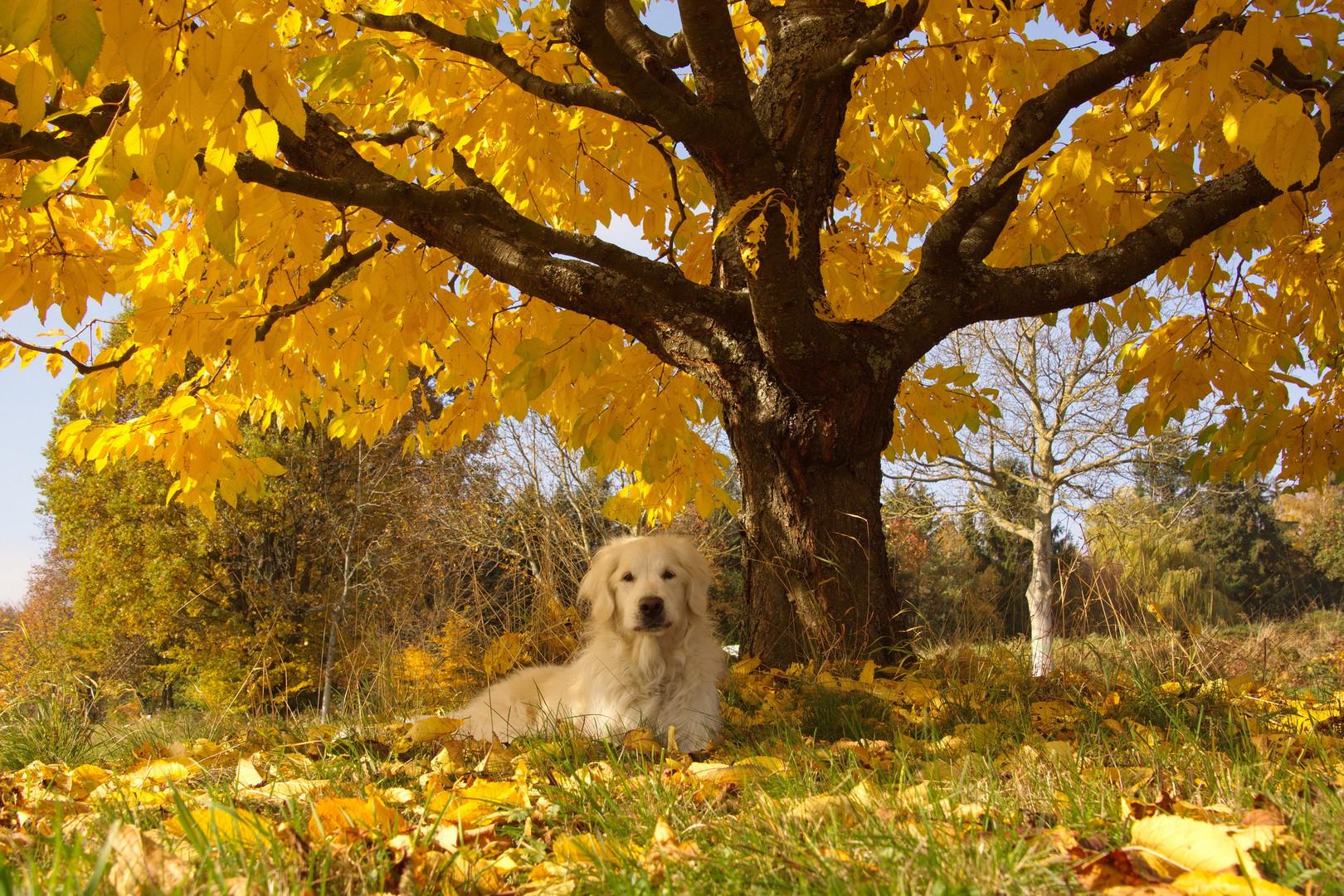 Goldie in goldenem Herbstlicht