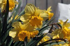 goldiger Frühlung