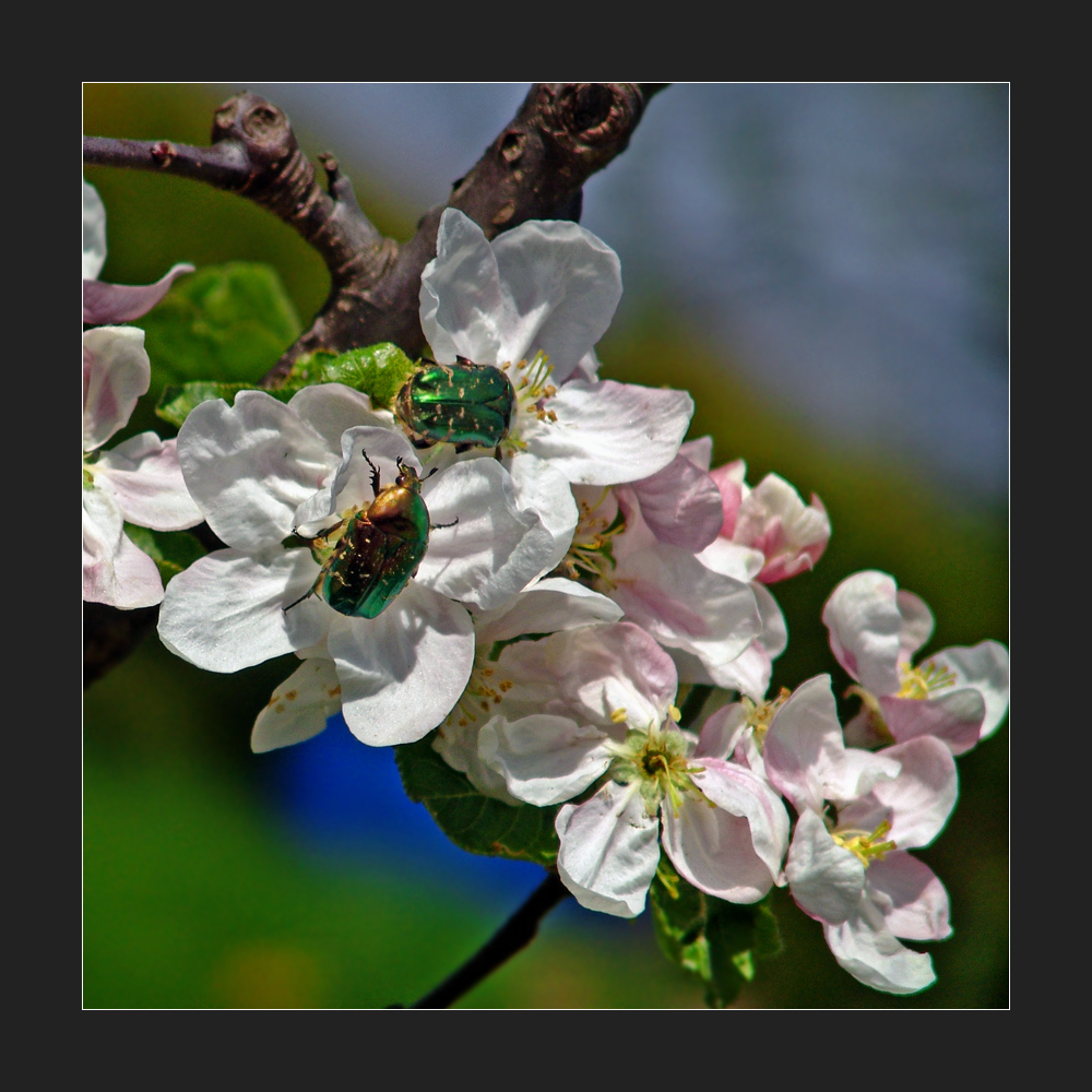 Goldkäfer auf Apfelblüten