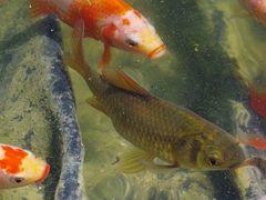 Goldloser Goldfisch