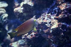 Goldring-Borstenzahndoktorfisch