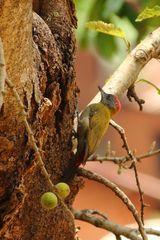 Goldrückenspecht (Dendropicos griseocephalus) (unter Vorbehalt)