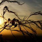 Goldstaub im Wind..