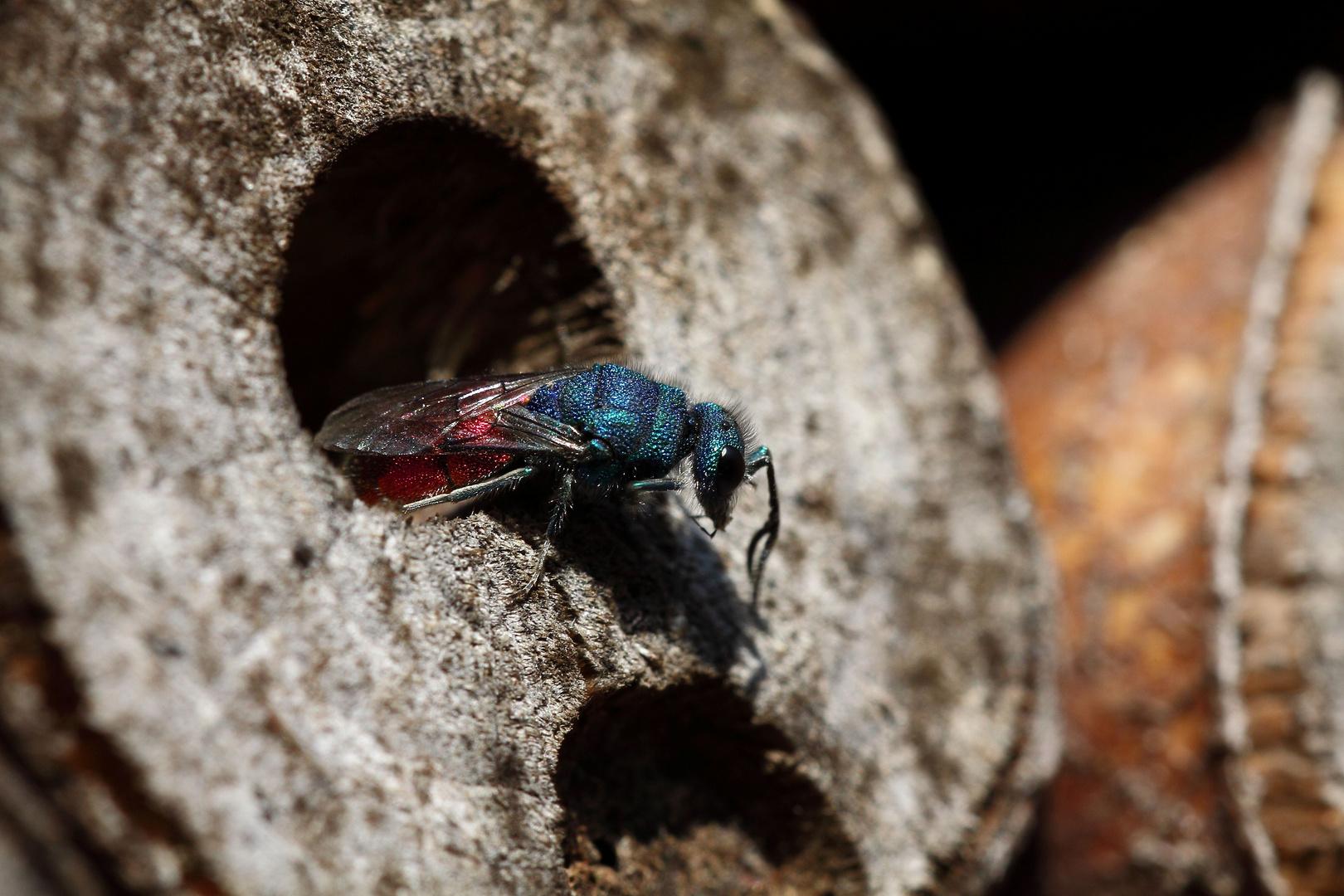 Goldwespe auf der Suche nach Wildbienengelege