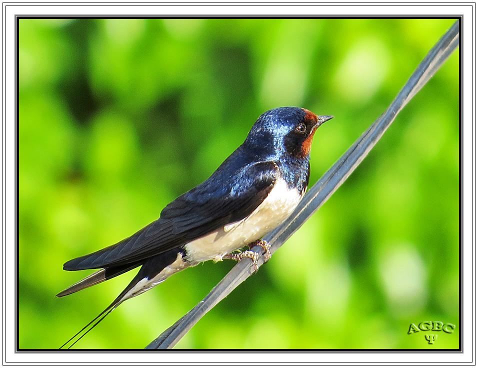 Golondrina común (Hirundo rustica) (Barn swallow) I