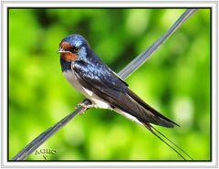 Golondrina común (Hirundo rustica) (Barn swallow) II