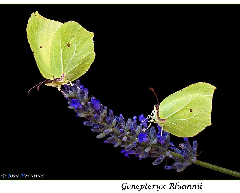 Gonepteryx Rhamnii
