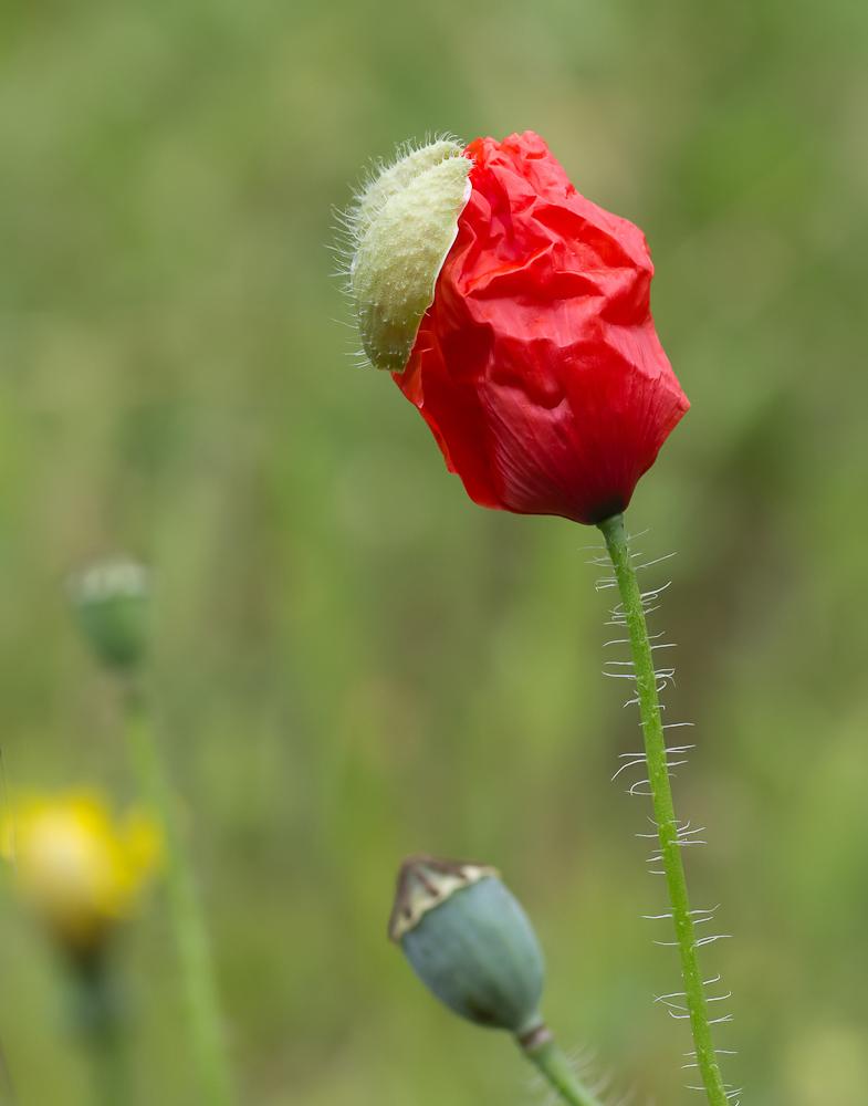good morning poppy