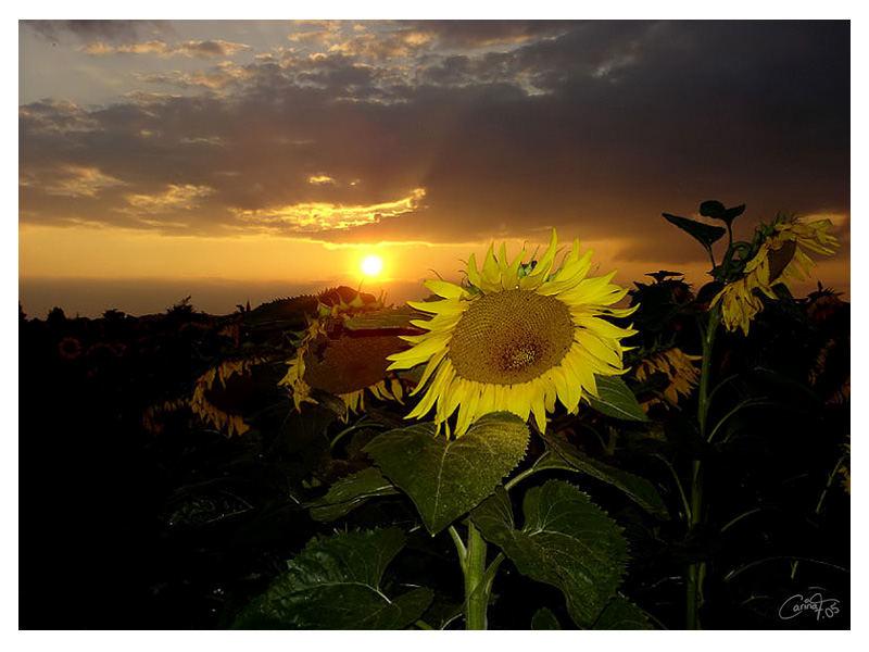 Good night sunflower