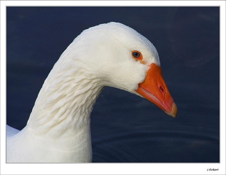 Goose #1