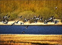 - Goose Attack -