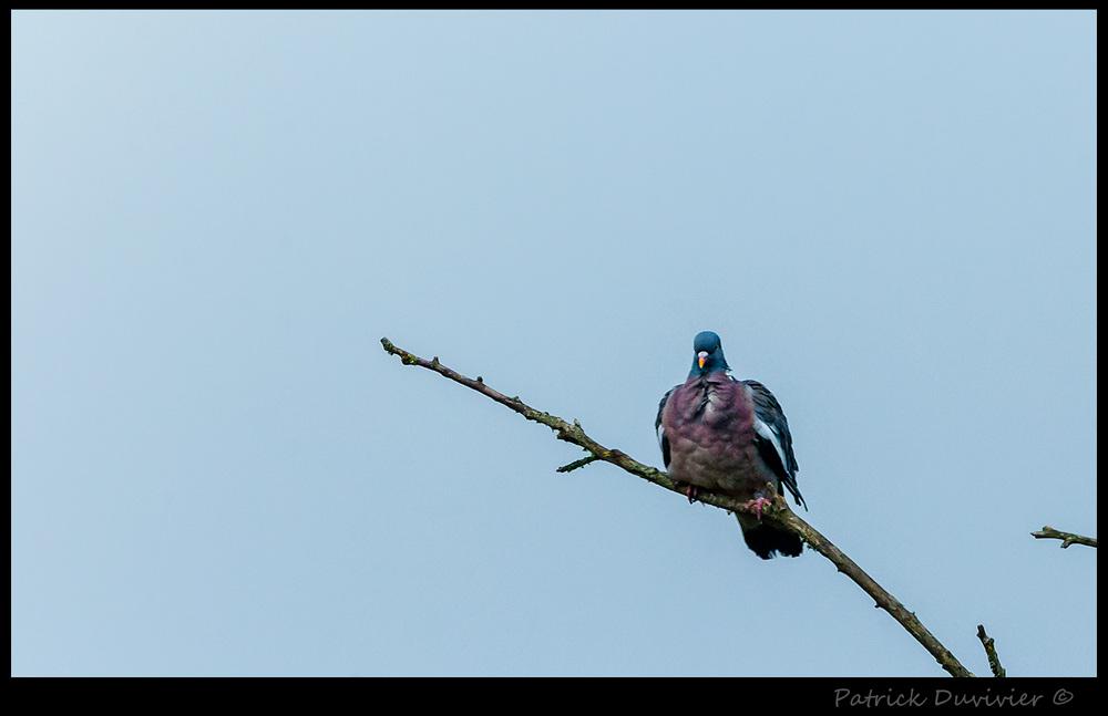 Gorge de pigeon