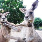 Gorgeous Kangaroo Fight