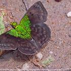 Gorgopas trochilus, Green-shouldered Gorgopas. Ein Hesperiidae!