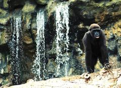 Gorilla am Wasserfall