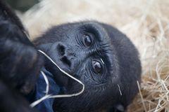 Gorilla Baby im Tierpark Hellabrunn
