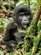 Gorilla Baby in Bwindi Rain Forest, Uganda 2014