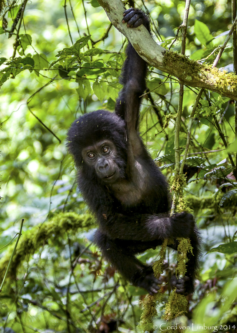 Gorilla Baby playing in the trees