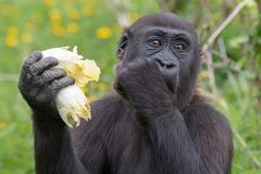 Gorilla bei der Futteraufnahme