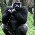 Gorilla bei der Zahnpflege