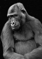 Gorilla beim Nickerchen