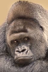 Gorilla BOBO