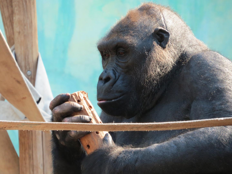 Gorilla - Dame Bagira?