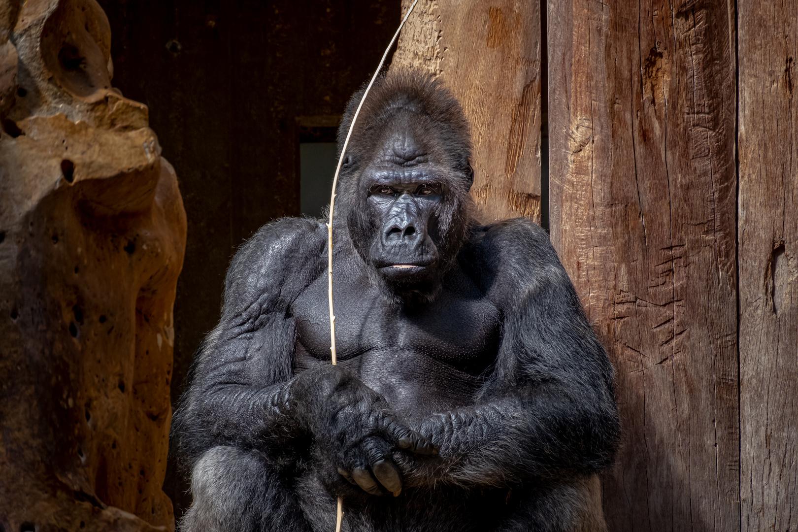 Gorilla - Der Krieger