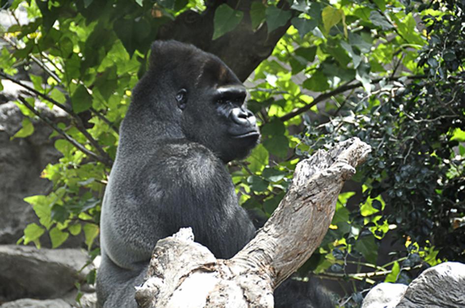 gorilla eine unglaubliche faszination foto bild tiere zoo wildpark falknerei. Black Bedroom Furniture Sets. Home Design Ideas