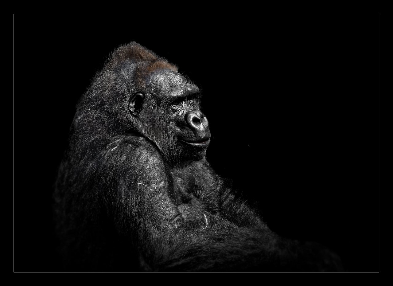 Gorilla (Hellabrunn)