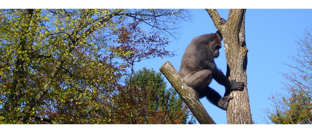 _Gorilla I/