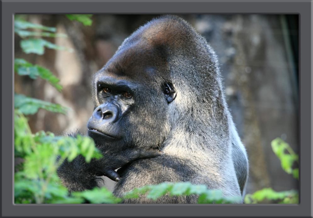 Gorilla im Loro Park auf Teneriffa
