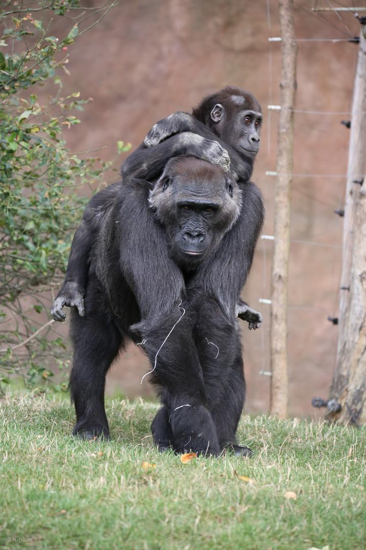 Gorilla im Prager Zoo