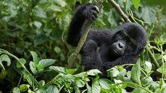 Gorilla Jungspont