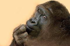 Gorilla KIKI - Heidelberger Zoo
