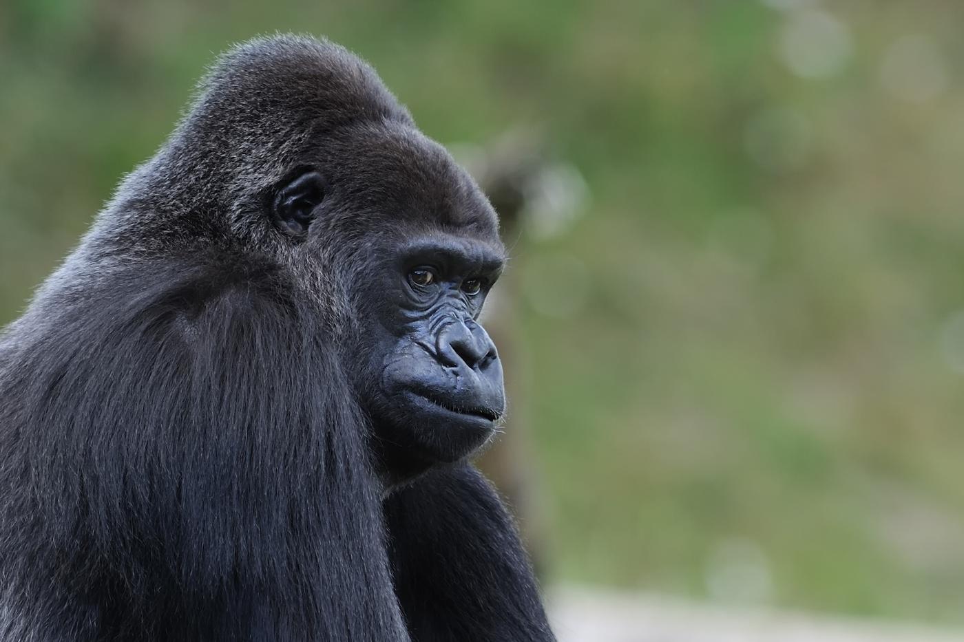Gorilla (Löwenpark Givskud/DK)