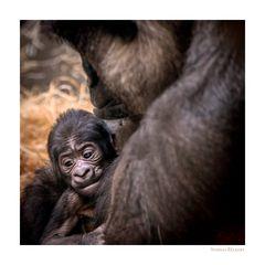 Gorilla Mama mit Kind