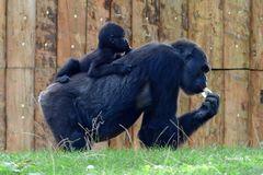 Gorilla mit Baby  - Zoo Duisburg