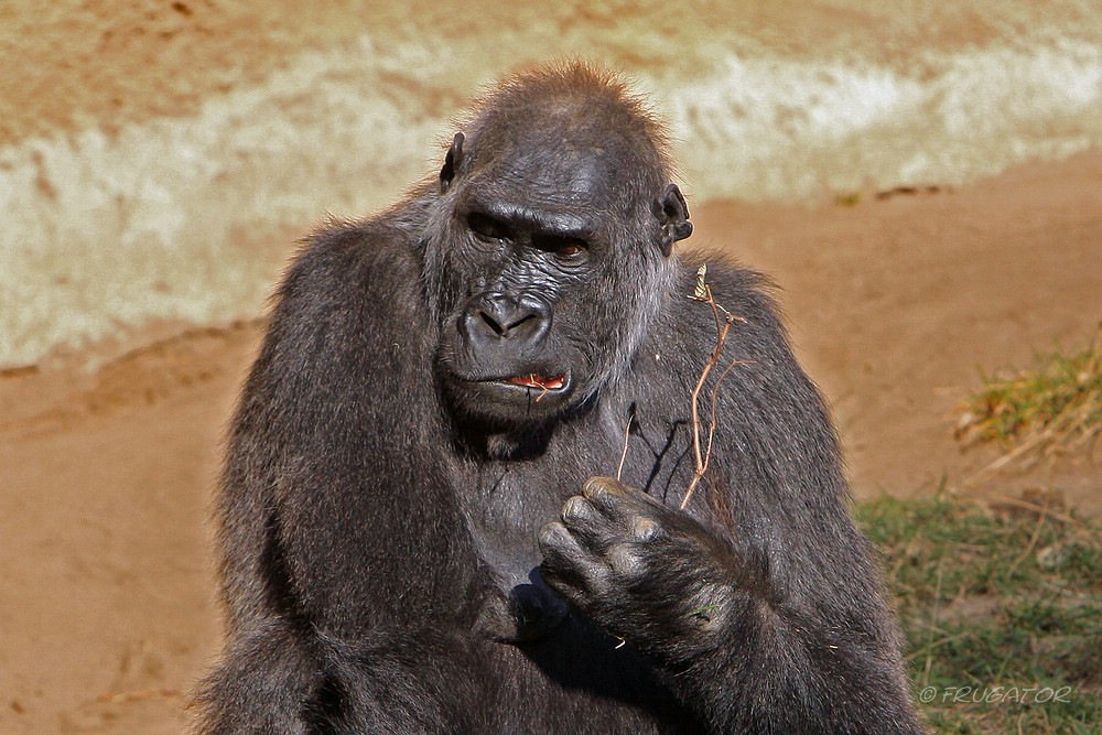 """Gorilla-Portrait""..."