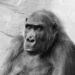 Gorilla-Portrait s/w