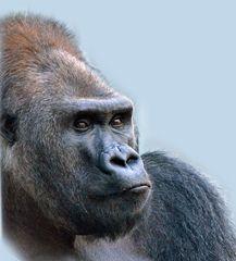 """Gorilla ROUTUTU - Tierpark München """"Hellabrunn"""""""