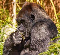 Gorilla-Silberrücken