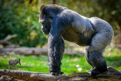 Gorilla trifft Zeba
