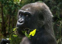 Gorilla, Wilhelma,