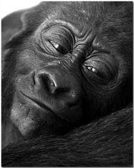 Gorillababy