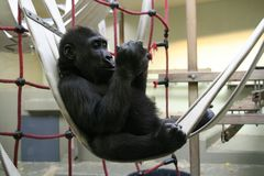 Gorillababy in der Aufzuchtstation der Wilhelma