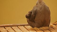 Gorillababy in sicherer Obhut