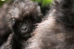 Gorillajunges