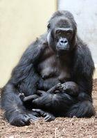 Gorillanachwuchs